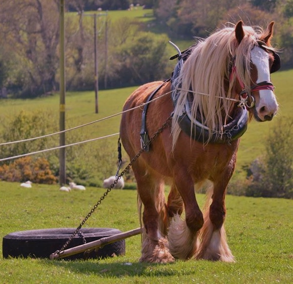 Learn how to work a shire horse in draft at the Shepherd's Hideaway